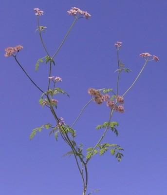 שערור שעיר Chaetosciadium trichospermum (L.) Boiss.