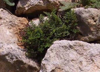 Cheilanthes acrostica (Balb.) Tod.