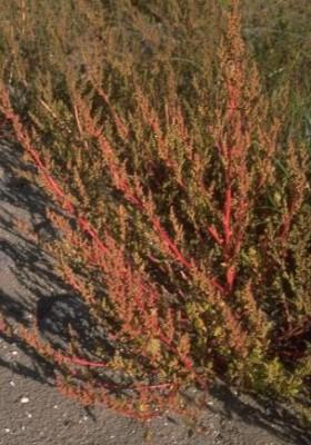 כף-אווז אדומה Chenopodium chenopodioides (L.) Aellen