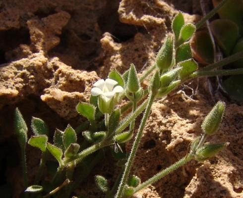 ארנריית הסלעים Arenaria deflexa Decne.