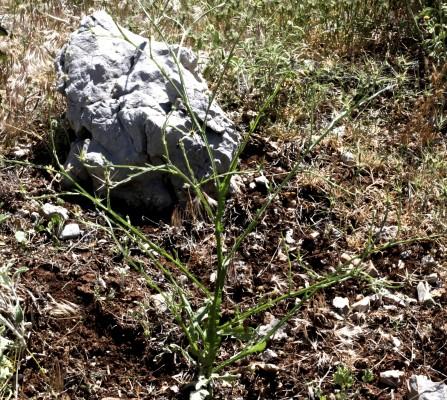דרדר אביבי Centaurea solstitialis L.