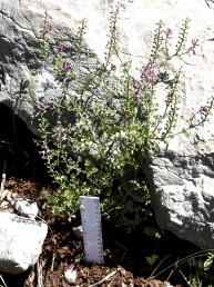 צמחים חד-שנתיים של החרמון ומרום הגולן.