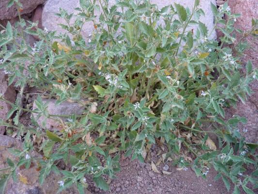 סולנום סיני Solanum sinaicum Boiss.
