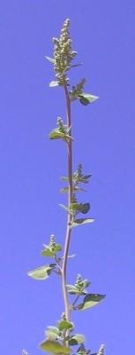 כף-אווז מבאישה Chenopodium vulvaria L.