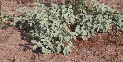 לשישית הבוצין Chrozophora obliqua (Vahl) A.Juss. ex Spreng.