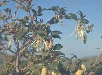 זלזלת הקנוקנות Clematis cirrhosa L.