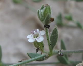 הצמח מכוסה בשיערות רכות קצרות וגם בשיערות ארוכות מפושקות