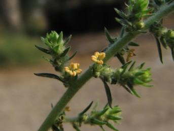 עשב חד-שנתי שעיר, מכסיף, גדל בקיץ ויוצר גוש כדורי בקוטר 300-50 ס
