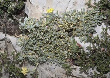 עשבים רב-שנתיים גדלים בבתי-גידול סלעיים בחרמון, במואב ובאדום.