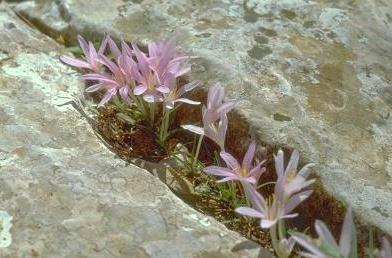 סתוונית היורה Colchicum stevenii Kunth