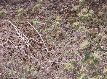 Convolvulus auricomus (A.Rich.) Bhandari