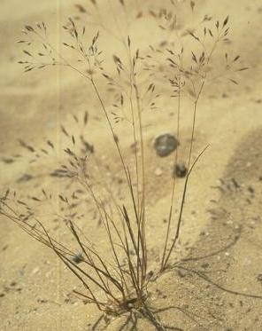 אלית המפרק Corynephorus articulatus (Desf.) P.Beauv.