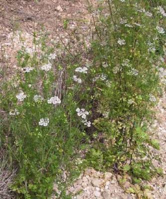 גד השדה Coriandrum sativum L.