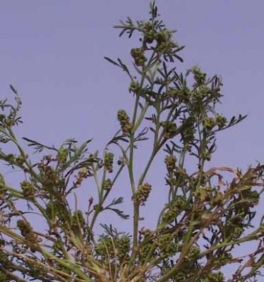שחליל שרוע Coronopus squamatus (Forssk.) Asch.