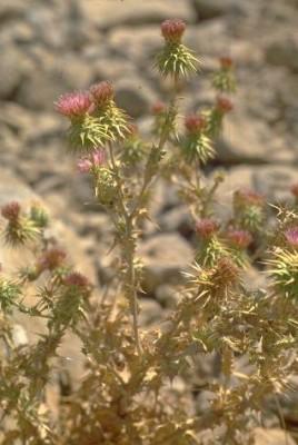 קוסיניה חרמונית Cousinia hermonis Boiss.