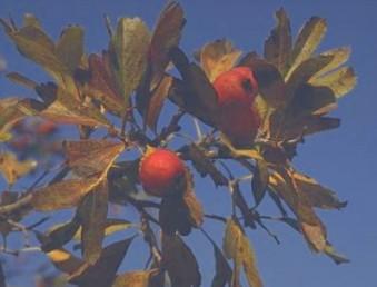 הפרי אדום, קוטרו 15-10 מ