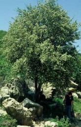 עצים נדירים בעיקר בחלק הגבוה של הגליל העליון; פליט תרבות בקמפוס של גבעת-רם.