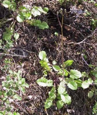 ניסנית ירושלמית Crepis hierosolymitana Boiss.