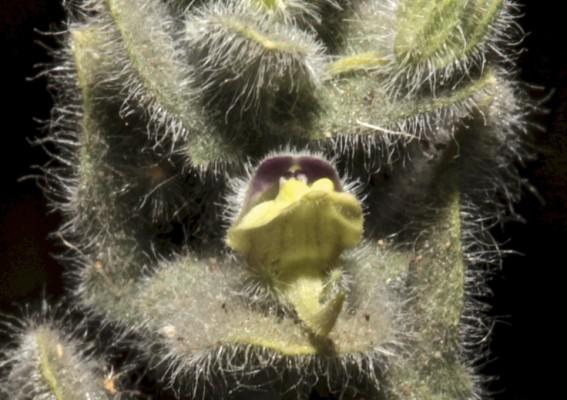 עפעפית שרועה Kickxia elatine (L.) Dumort.