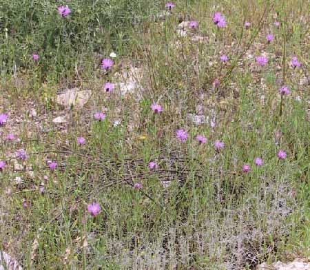 דרדית מצויה Crupina crupinastrum (Moris) Vis.