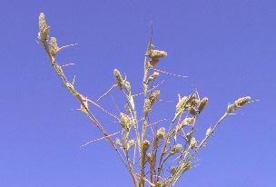 Crypsis schoenoides (L.) Lam.