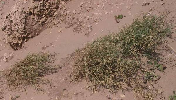 חולית החוף Cutandia maritima (L.) Barbey