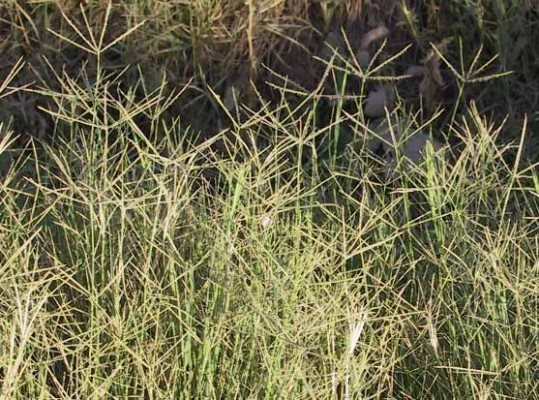 יבלית מצויה Cynodon dactylon (L.) Pers.