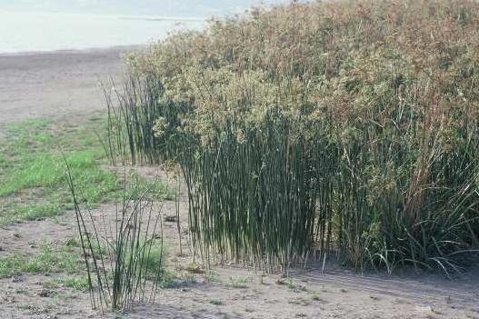 גומא הפרקים Cyperus articulatus L.
