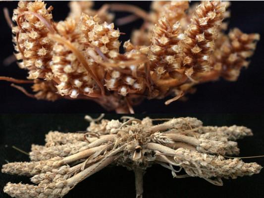 החלק התחתון - צמח בשל יבש הדוק לקרקע; חצי עליון - 5 דקות לאחר הרטבה