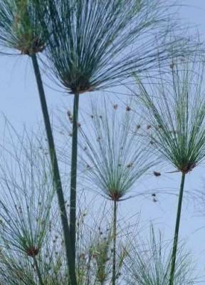 גומא הפפירוס Cyperus papyrus L.