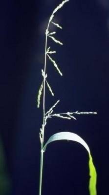 ארזית זקופה Ehrharta erecta Lam.