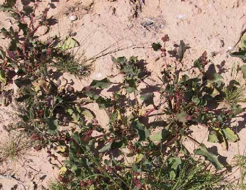 Emex spinosa (L.) Campd.