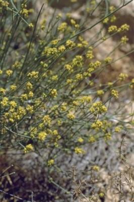 Ephedra aphylla Forssk.