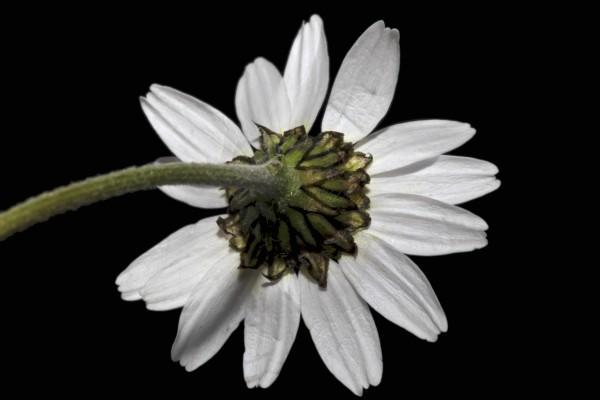 קחוון יווני Anthemis chia L.