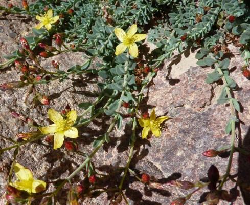 פרע סיני Hypericum sinaicum Hochst. ex Boiss.