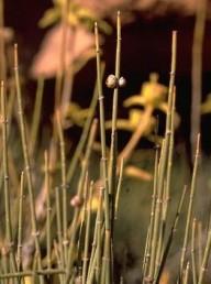 שיחים הגדלים בערבות בני-שיח באדום. עפצים המופיעים כזוגות כדורים ניכרים בדרך כלל.
