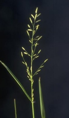 בן-חילף קטן Eragrostis minor Host