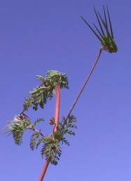 התפרחות יוצאות מחיק עלי הגבעול; אורך עוקצי התפרחת עולה על אורך העלים החופים.