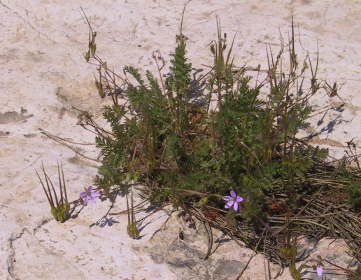 Erodium cicutarium (L.) L'Her.