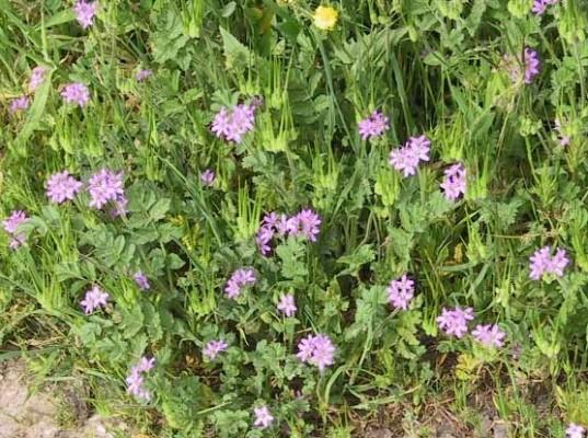 מקור-חסידה מצוי Erodium moschatum (L.) L'Her.
