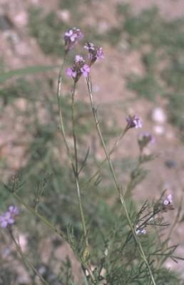 שלח ספרדי Erucaria hispanica (L.) Druce