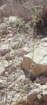 חרחבינה מגובבת Eryngium glomeratum Lam.