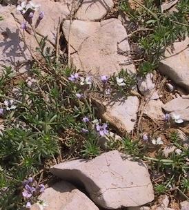 אריסימון ארגמני Erysimum purpureum Gay