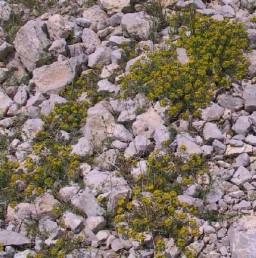 צמחי מדרונות אבניים וראשי גבעות סחופות-רוח בחרמון.