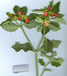 העלים נגדיים, בסיס העלים הסמוכים לתפרחת אדום.