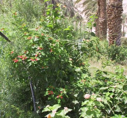 חלבלוב הסנפירים Euphorbia cyathophora Murr.