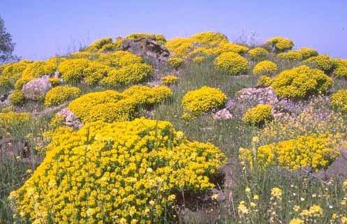 Euphorbia hierosolymitana Boiss.