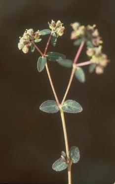 חלבלוב שעיר-פרי Euphorbia lasiocarpa Klotzsch