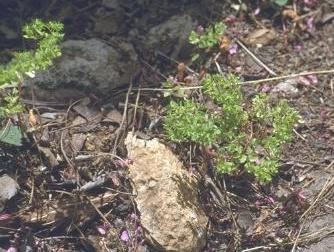 Euphorbia peplus L.