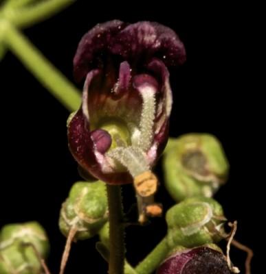 לוענית פינר Scrophularia pinardii Boiss.
